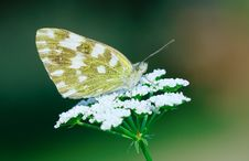 Free White Butterfly Royalty Free Stock Photo - 5338705
