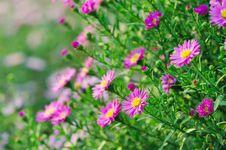Free Purple Mum Stock Images - 5338724