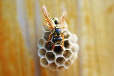 Free Hornet With Honeycomb Royalty Free Stock Images - 5338849
