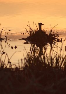 Free Duck At Sunset Royalty Free Stock Image - 5338916