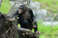 Free Chimpanzee Stock Images - 5339224