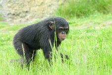Free Chimpanzee Stock Images - 5339234
