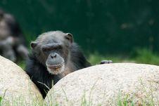 Free Chimpanzee Stock Photo - 5339240