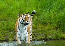 Free Siberian Tiger Royalty Free Stock Photography - 5339287