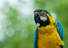 Free Blue-and-yellow Macaw Royalty Free Stock Photo - 5339295