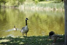 Free Canadian Goose Stock Photography - 5339492