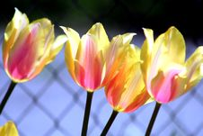 Free Tulip Mix Colors Stock Image - 5339651