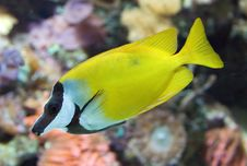 Free Foxface Rabbit Fish 1 Stock Photography - 5339822