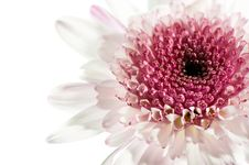 Free White And Purple Daisy Stock Photography - 5339832