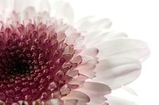 Free White And Purple Daisy Stock Image - 5339841