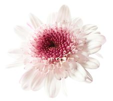 Free White And Purple Daisy Stock Photos - 5339863