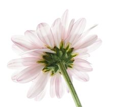 Free White And Purple Daisy Royalty Free Stock Photography - 5339927