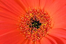 Free Red And Yellow Gerbera Sharp Leaf Edges Macro Stock Photos - 5339993