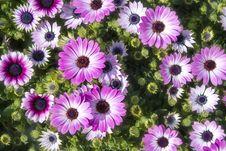 Pink Flowers Chrysanthemum Royalty Free Stock Photos
