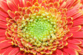 Free Red And Yellow Gerbera Stock Photos - 5340293