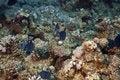 Free Redtooth Triggerfish ( Odonus Niger) Royalty Free Stock Image - 5346296