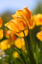 Free Beautiful Red And Yellow Tulips Royalty Free Stock Photos - 5348488