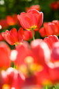 Free Beautiful Red Tulips Royalty Free Stock Photo - 5348745
