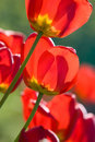 Free Beautiful Red Tulips Royalty Free Stock Image - 5348826