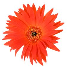 Free Red And Yellow Gerbera Sharp Leaf Edgesmacro Stock Photos - 5340003