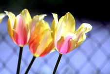 Free Tulip Mix Colors Royalty Free Stock Photos - 5340208