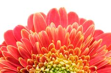 Red And Yellow Gerbera Stock Photo