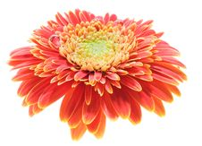Free Red And Yellow Gerbera Stock Photography - 5340302
