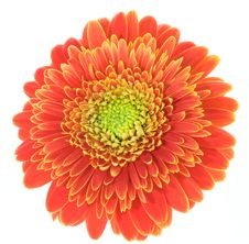 Free Red And Yellow Gerbera Stock Photos - 5340403