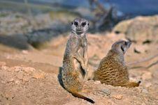 Free Meerkats (mammals) Stock Images - 5340584