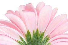 Free Roze Gerbera Stock Image - 5340711