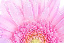 Free Roze Gerbera Royalty Free Stock Photos - 5340788