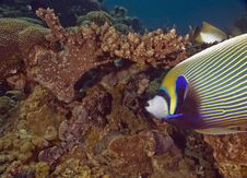 Free Red Sea Angelfish (Pomacanthus Maculosus) Royalty Free Stock Images - 5340929