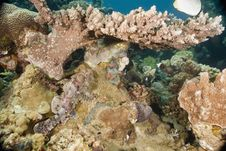 Free Smallscale Scorpionfish (Scorpaenopsis Oxycephala) Royalty Free Stock Photography - 5340987