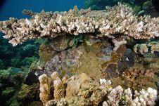 Free Smallscale Scorpionfish (Scorpaenopsis Oxycephala) Royalty Free Stock Photos - 5340988