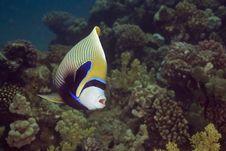 Free Emperor Angelfish (Pomacanthus Imperator) Royalty Free Stock Photo - 5340995