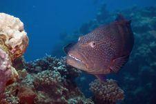 Free Red Sea Coralgrouper (Plectropomus Pessuliferus) Stock Images - 5341004