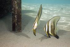 Free Longfin Spadefish (platax Teira) Royalty Free Stock Photo - 5341035
