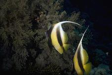 Free Red Sea Bannerfishes (heniochus Intermedius) Stock Photography - 5341672