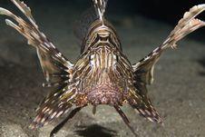 Free Comon Lionfish (pterois Miles) Stock Images - 5341844