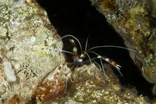 Free Boxer Shrimp (stenopus Hispidus) Stock Photo - 5341860