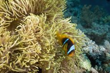 Free Red Sea Anemonefish (Amphipiron Bicinctus) Stock Photography - 5342072