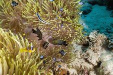 Free Red Sea Anemonefish (Amphipiron Bicinctus) Stock Images - 5342074