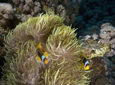 Free Red Sea Anemonefish (Amphipiron Bicinctus) Stock Images - 5342084