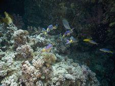 Free Yellowstripe Goatfish (mulloidichthys Vanicolensis Royalty Free Stock Photo - 5342245