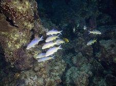 Free Yellowstripe Goatfish (mulloidichthys Vanicolensis Royalty Free Stock Photography - 5342247
