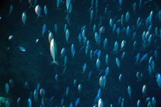 Free Red Sea Fusilier (caesio Suevica) Royalty Free Stock Images - 5342259
