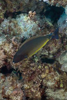 Free Sleek Unicornfish (naso Hexacanthus) Stock Photo - 5342260