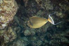 Free Sleek Unicornfish (naso Hexacanthus) Royalty Free Stock Image - 5342326