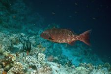Free Red Sea Coralgrouper (Plectropomus Pessuliferus) Royalty Free Stock Photography - 5342587
