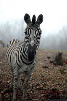 Zebra In The Mist Royalty Free Stock Images